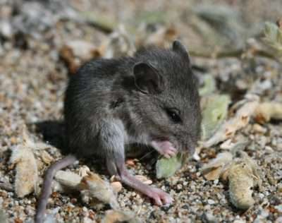 Mice threaten a rare native plant by eating its seeds, but their spoilation is human-enabled