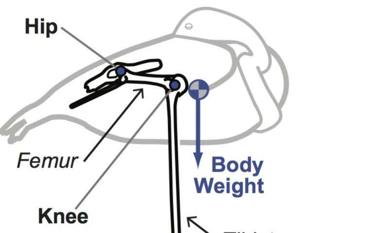 Neuromechanics of flamingos' amazing feats ofbalance