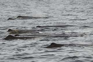 New study suggests that sperm whales travel together, dine alone
