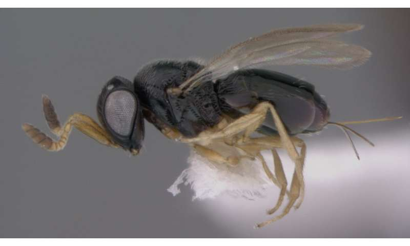 Of Star Trek, Mark Twain and helmets: 15 new species of wasps with curious names