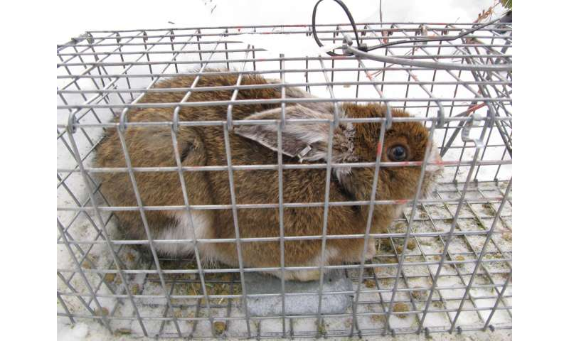 Pennsylvania snowshoe hares differ from those in Yukon