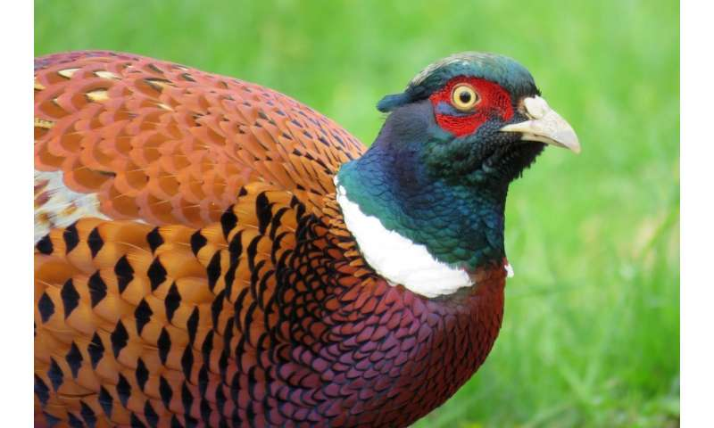 Pheasant roadkill peaks in autumn and late winter
