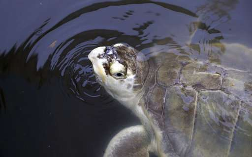 Released sea turtle carries oceanographer's ashes out to sea