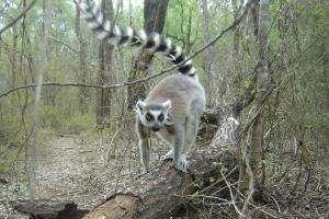 Researcher decodes the secret language of ring-tailed lemurs