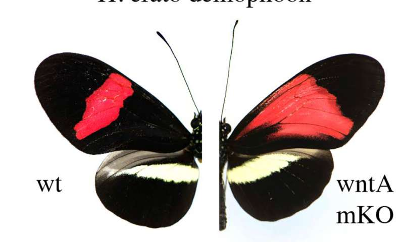 Scientists edit butterfly wing spots and stripes