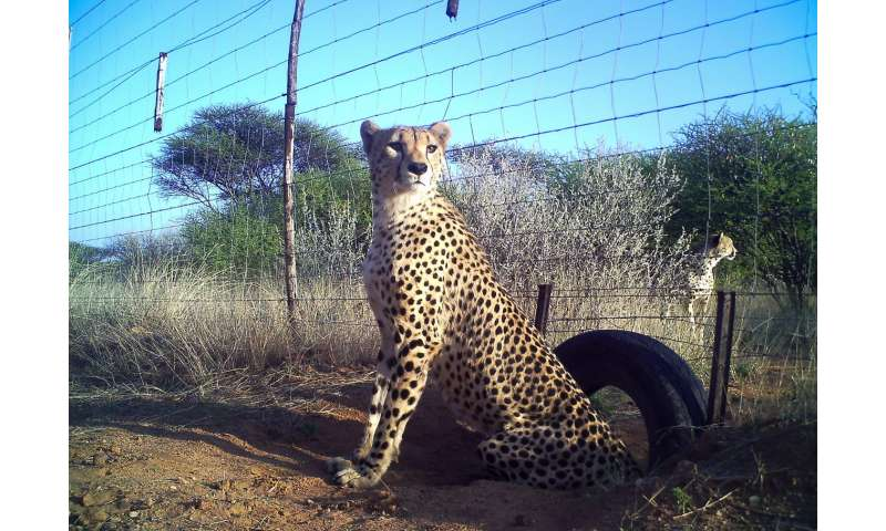 Scientists urge endangered listing for cheetahs