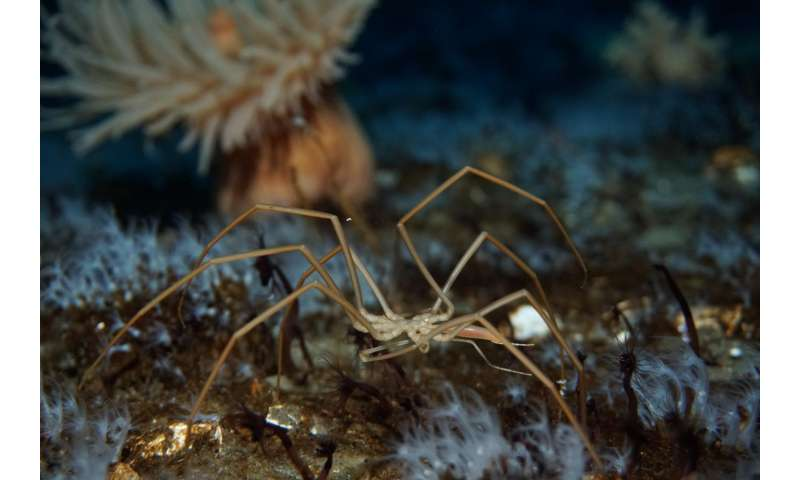 Sea spiders move oxygen with pumping guts (not hearts)