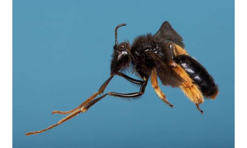 South Africa's long-legged bees adapted to pollinate snapdragon flowers