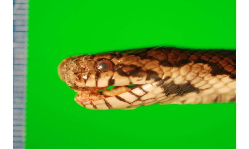 Study warns that snake fungal disease could be a global threat
