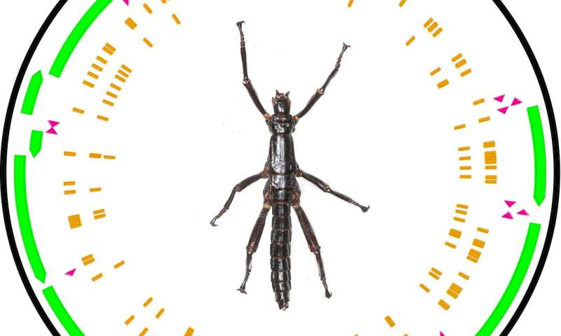 The Lord Howe Island stick insect lives: A story of survival
