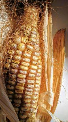 Tracking down the jumping genes of maize