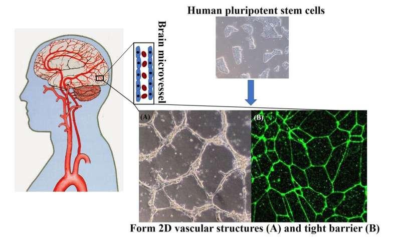 UW scientists create a recipe to make human blood-brain-barrier