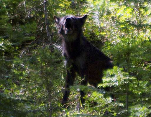 Wolves' return to Oregon brings conflict and opportunity