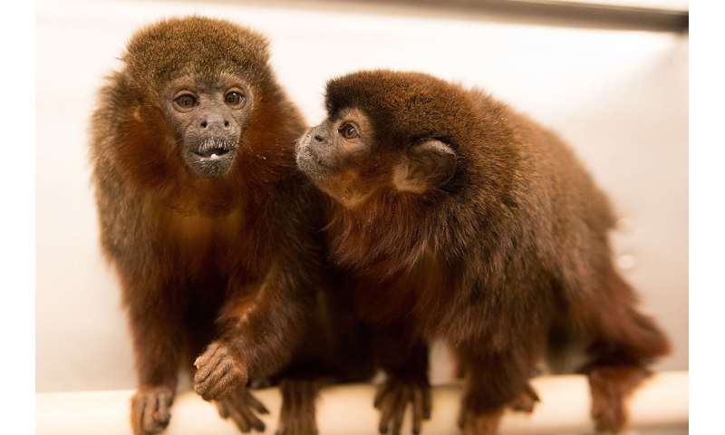 Scientists map monogamy, jealousy in the monkey mind