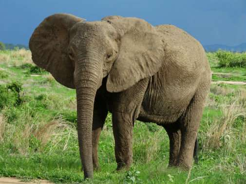 Scientists uncover patterns of elephant poaching in East Africa