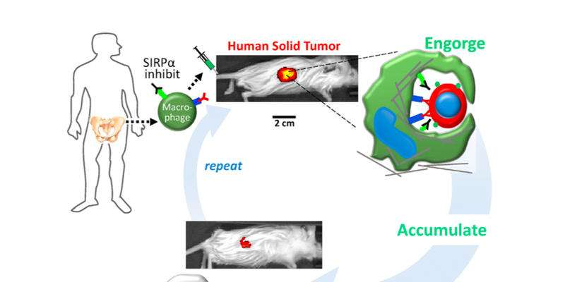 Researchers engineer macrophages to engulf cancer cells in solid tumors