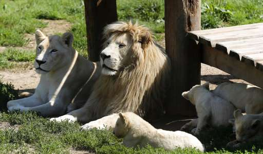 5 critically endangered white lions born in Czech zoo