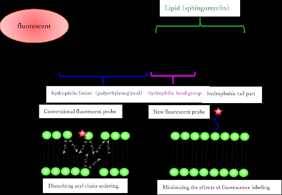 Artificial fluorescent membrane lipid shows active role in living cells