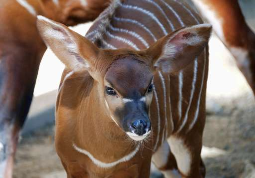 Bouncing baby bongo shows its stripes at Los Angeles Zoo
