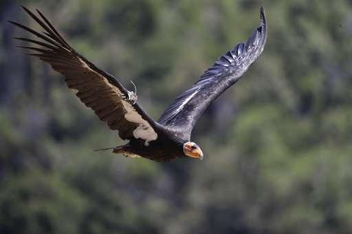 California condor takes flight in wild after near extinction
