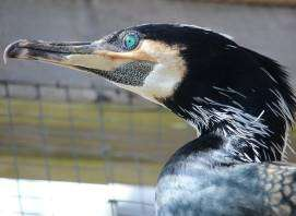 New discovery: Cormorants can hear under water