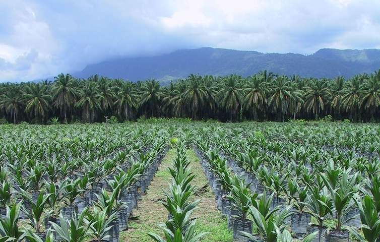No, palm oil is not responsible for 40% of global deforestation
