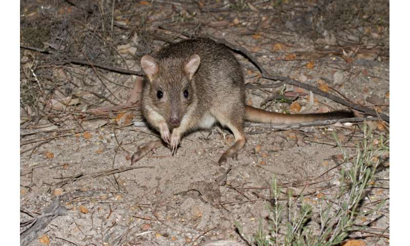 Reintroduced marsupials may pose new threat to ground–dwelling birds
