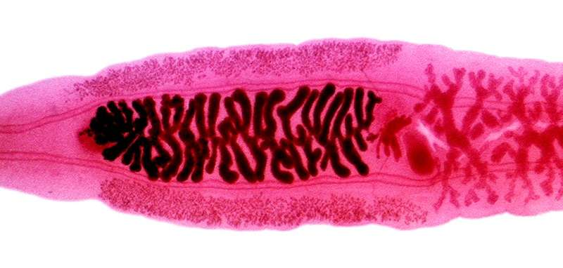 Researchers map clonorchiasis risk across China