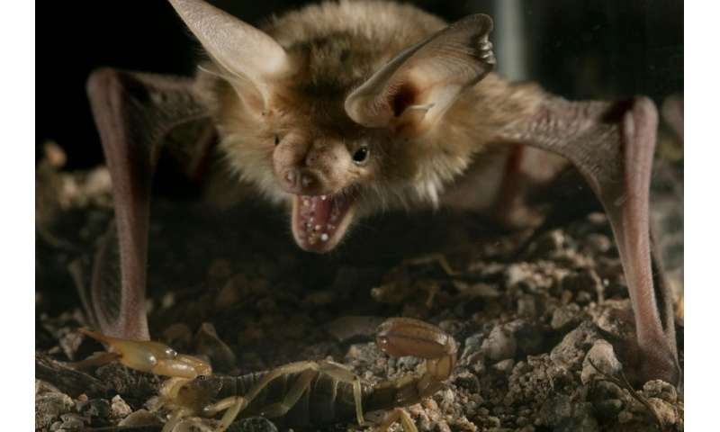 Study finds pallid bat is unfazed by venom of Arizona bark scorpion