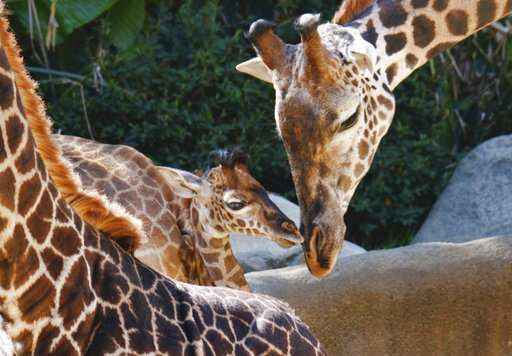 Things looking up as Los Angeles Zoo unveils baby giraffe