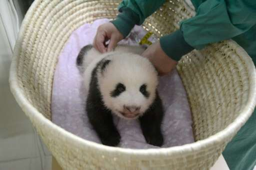 This handout picture taken on August 11, 2017 and released from the Tokyo Zoological Park Society on August 14, 2017 shows Ueno