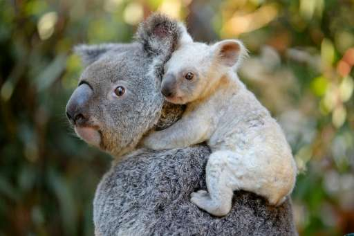 This undated handout from the Australia Zoo received on August 22, 2017 shows a white koala joey on her mother Tia at the Austra