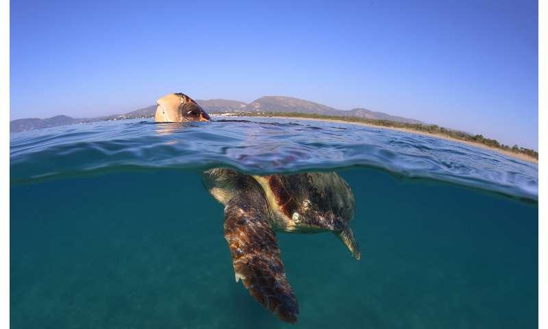 Warming temperatures threaten sea turtles