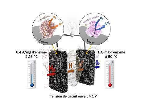 Researchers produce a biocell as effective as a platinum fuel cell