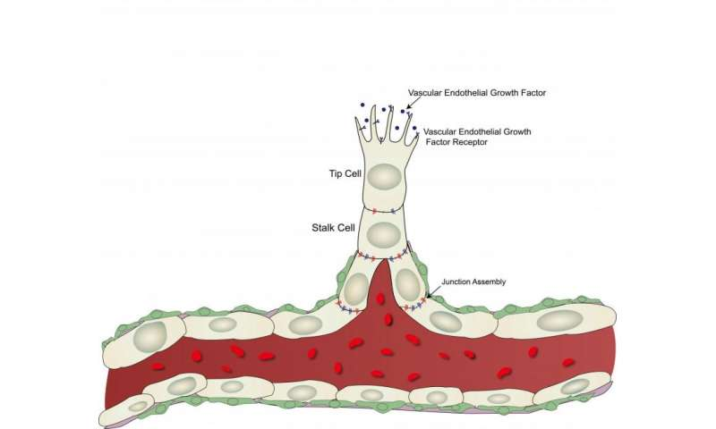 Scientists discover key regulator of blood vessel formation