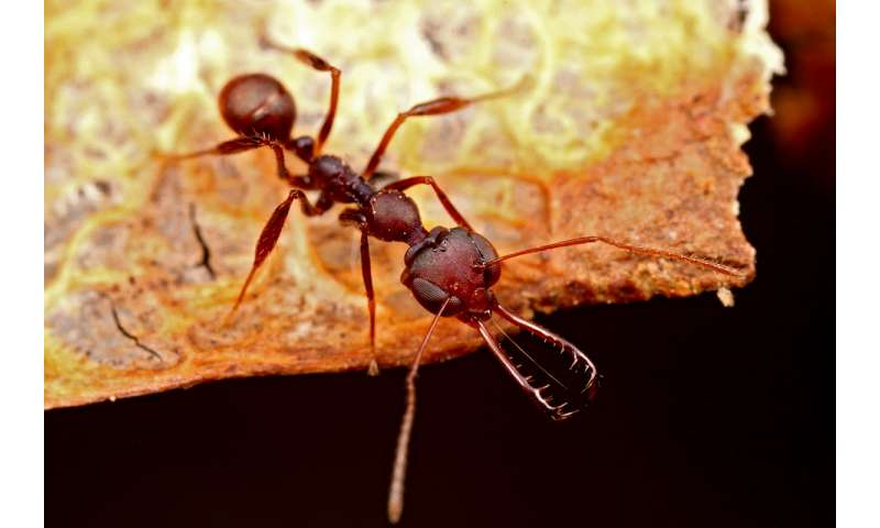 Scientists discover spring-loaded mechanism in unusual species of trap-jaw ant