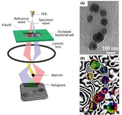 Ames Laboratory-led team maps magnetic fields of bacterial cells, nano-objects for the f