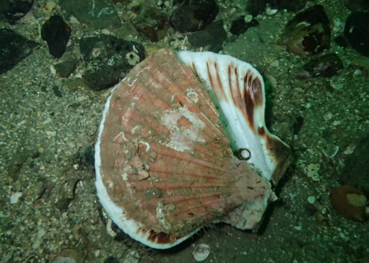 Biodiversity ravaged by dredging at renowned Scottish dive site
