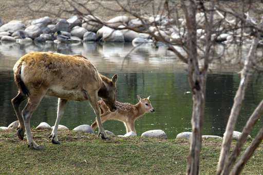 China's rare milu deer return in victory for conservation