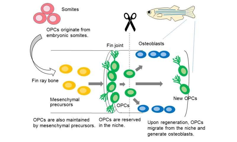 Elucidation of bone regeneration mechanism