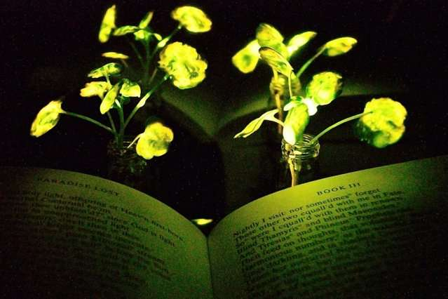 Engineers create plants that glow