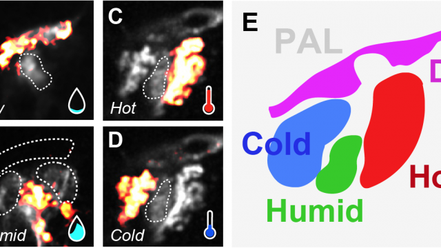 Scientists discover combined sensory map for heat, humidity in fly brain