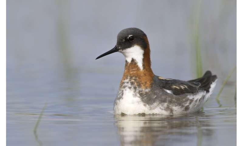 Study pinpoints arctic shorebird decline