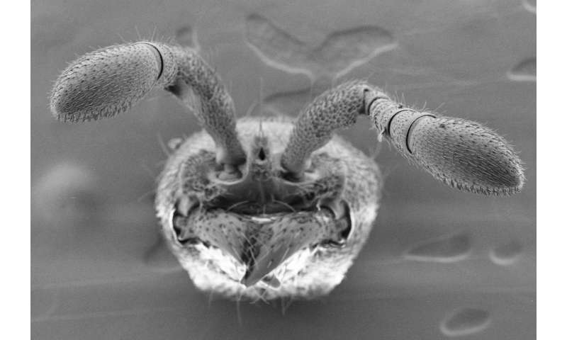 Researchers use CRISPR to manipulate social behavior in ants