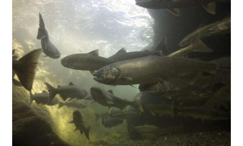 Study reveals the evolutionary history of imperiled salmon stocks