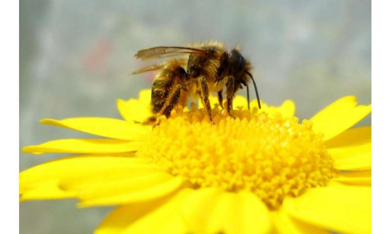 Climate change threatens domestic bee species