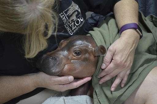 Cincinnati Zoo says premature hippo gets some mother's milk