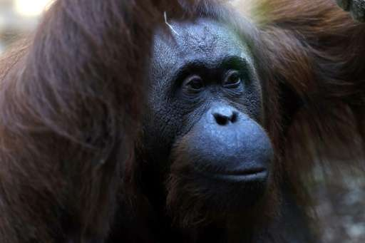 Researchers hope the programme could improve breeding programmes for the apes
