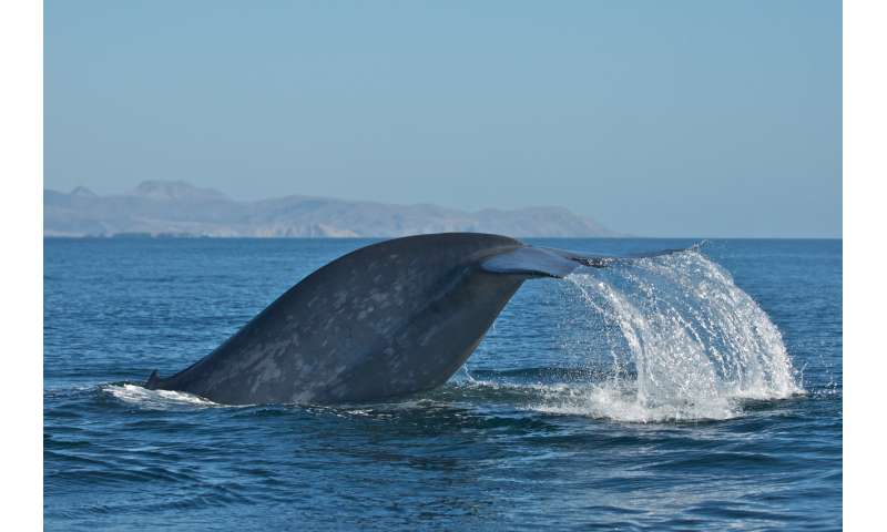 Scientists discover most blue whales are 'right-handed' -- except when they swim upward