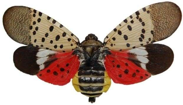 Researchers take aim at invasive, 'pernicious' spotted lanternfly